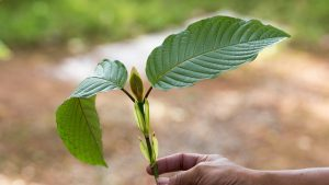 A Brief Introduction to Kratom Strains