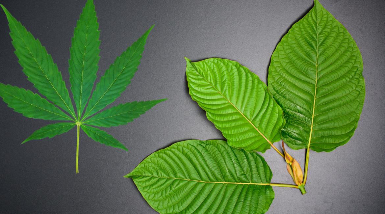 Kratom vs Marijuana